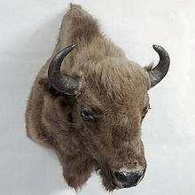 TAXIDERMY: EUROPEAN BISON - Shoulder mount male. Condition good. Late 20th century. 39