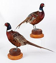 TWO TAXIDERMY RING NECK PHEASANTS - Standing pheasants in life-like poses professionally mounted. On a two-tiered wood stand. Unmark...