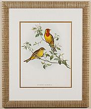 JOHN GOULD (1804-1881, England) AVIAN ETCHING ON PAPER -