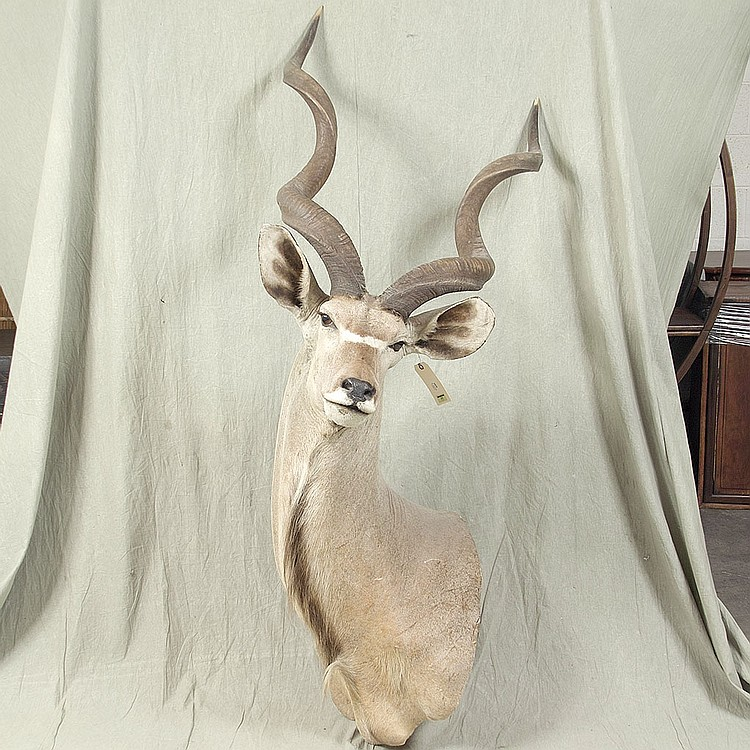 TAXIDERMY: GREATER KUDU