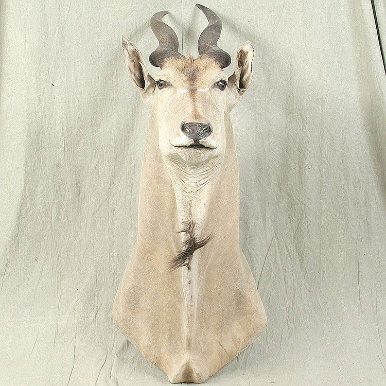TAXIDERMY: GIANT ELAND - Shoulder mount bull with full horns. Condition good, with some older repairs and areas of thin hair. Mid 20...