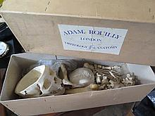 An Adam Rouilly London Osteology Anatomy Human Ske