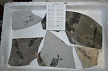 A TRAY OF WYOMING FOSSILS.