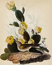 ~ VESPER SPARROW ~ John James Audubon Circa 1946