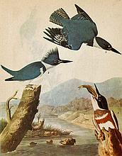 Audubon Belted Kingfisher The Birds of America.