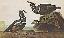 John James Audubon Circa 1946 HARLEQUIN DUCK