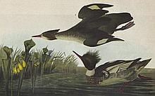John James Audubon Circa 1946 RED-BREASTED MERGANS