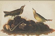 John James Audubon Circa 1946 AMERICAN PIPIT