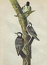 Audubon Woodpecker The Birds of America c.1946.