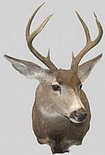 7 Point MULE DEER SHOULDER MOUNT