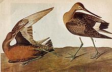 ~ HUDSONIAN GODWIT ~ John James Audubon