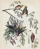 Audubon Red Crossbill The Birds of America c.1946.