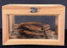 Mammoth Tooth in Display Box