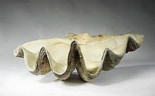 A giant clam shell of antique origin 54cm.; 21ins