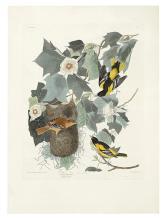 AUDUBON, JOHN JAMES. Baltimore Oriole. Plate 12.
