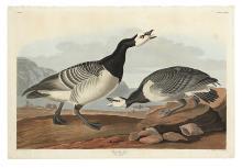 AUDUBON, JOHN JAMES. Barnacle Goose. Plate CCXCVI.