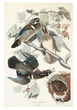 AUDUBON, JOHN JAMES. Summer or Wood Duck. Plate CCVI.