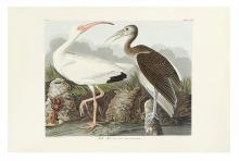 AUDUBON, JOHN JAMES. White Ibis. Plate CCXXII.