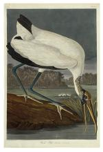 AUDUBON, JOHN JAMES. Wood Ibiss. Plate CCXVI.