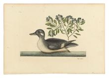 CATESBY, MARK. Anas minor ex albo & fuseo vario: The little brown Duck. Plate T98.