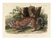 AUDUBON, JOHN JAMES. The Jaguar. Plate CI.