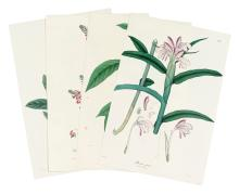 (BOTANICAL.) Wallich, Nathaniel. Group of approximately 35 hand-colored lithographed plates,