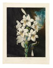 THORNTON, ROBERT JOHN. The White Lily with Variegated-leaves.