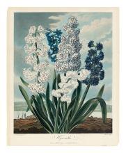THORNTON, ROBERT JOHN. Hyacinths.