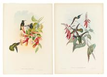 GOULD, JOHN. Florisuga Flabellifera. * Petasophora Thalassina.
