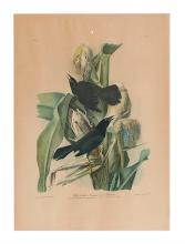 AUDUBON, JOHN JAMES; and BIEN, JULIUS. Purple Grackle or Common Crow Blackbird.