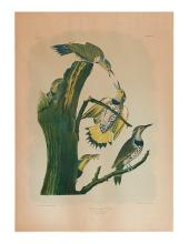 AUDUBON, JOHN JAMES; and BIEN, JULIUS. Gold Winged Woodpecker. No 12-3. Plate 273.
