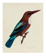 (BIRDS.) Indian Company School. White-throated kingfisher.