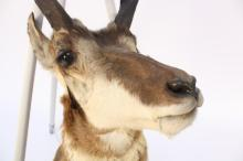 Taxidermy Mounted Antelope Head