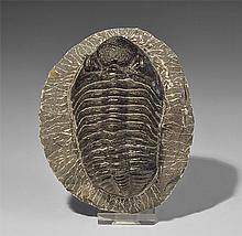 Natural History - Phacops Rana Trilobite on Matrix