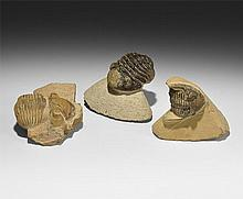 Natural History - Trilobite Fossil Group in Matrix