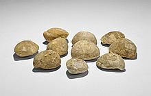 Natural History - Terebratula Fossil Brachiopod Group