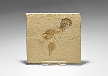 Natural History - Shrimp Fossil Group