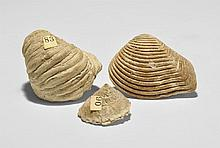 Natural History - Mollusc and Gastropod Fossil Group