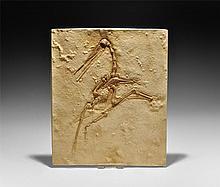Natural History - Pterodactylus in Matrix Museum Replica