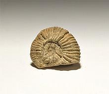 Natural History - Kilianella Fossil Ammonite
