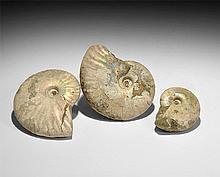 Natural History - Iridescent Shell Ammonite Group