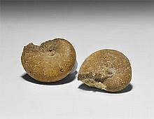 Natural History - Phylloceras Fossil Ammonite Group