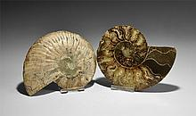 Natural History - Polished Ammonite Halves