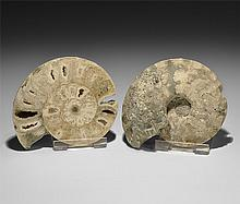 Natural History - Vascoceras Ammonite Halves Group
