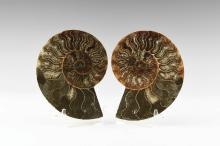Natural History - Polished Ammonite