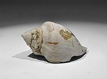 Natural History - Sycostoma Pyrus Fossil Gastropod