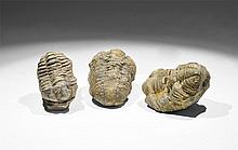 Natural History - Calymene Fossil Trilobite Group