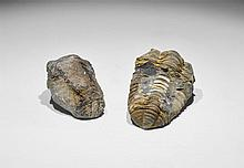 Natural History - Flexicalymene Fossil Trilobite Group