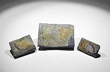 Natural History - Fossil Dunbarella Group