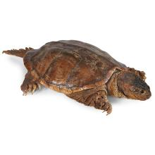 Taxidermy turtle, full body mount of a common snapping turtle 14''w x 30''d x 6''h